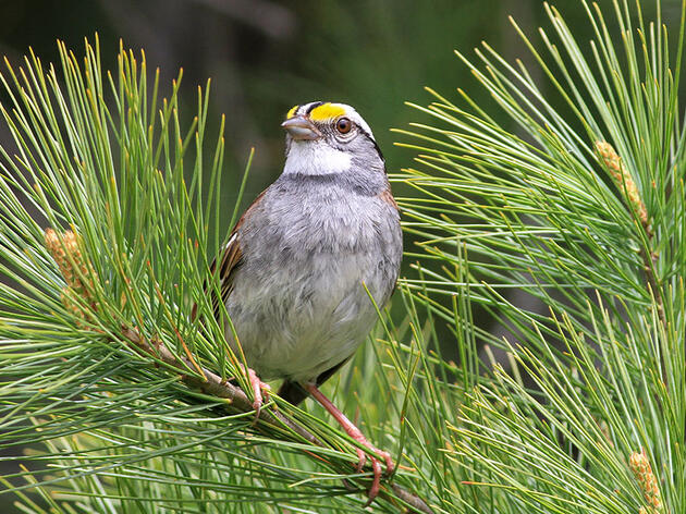 How a White-throated Sparrow's New Tune Went Viral