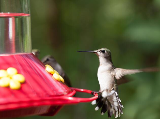 Ruby-throated Hummingbirds. Camilla Cerea/Audubon