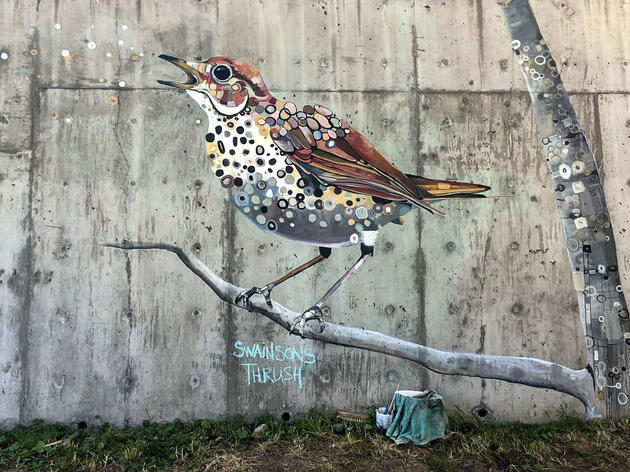 A Swainson's Thrush painted in the Vashon Audubon Mural. The secretive, small brown woodland bird is projected to lose 46 percent of its summer breeding range in Washington State if global warming continues apace.