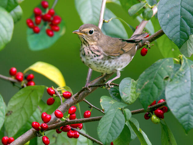Migratory Birds Like Native Berries Best