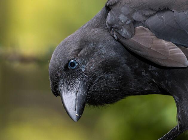 An adult Hawaiian Crow, or 'Alalā. Ken Bohn/San Diego Zoo Global