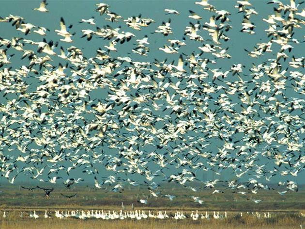 Flocks of geese, Teshekpuk Lake
