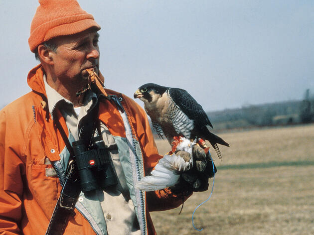 Tom Cade with Percy, a Peregrine Falcon. The Peregrine Fund
