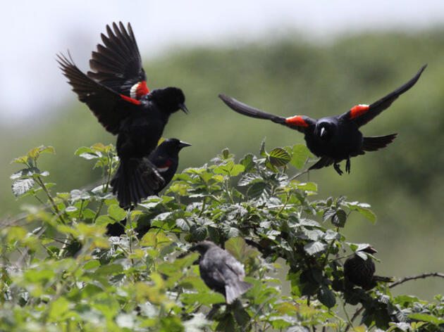 California Fish and Game Commission considers  emergency listing of Tricolored Blackbird