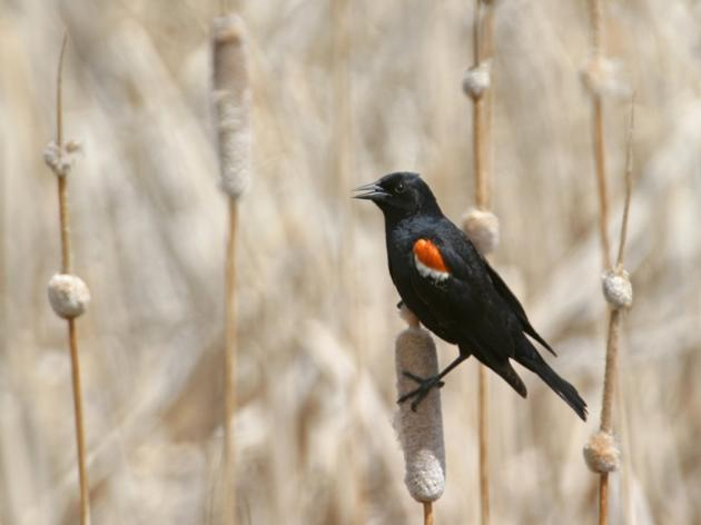 Agreements with California farmers seal protection of rare Tricolored Blackbird colonies
