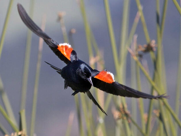 This Tricolored Blackbird's habitat is threatened by the California drought. Credit:Teddy Llovet, Flickr Creative Commons