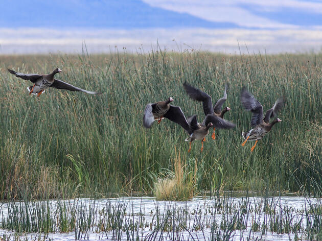 Five Tule Geese, which are mostly brown with white bellies and wing edges and orange feet, fly in to land on a pond amid tall marsh grasses. The birds appear blurry in the image because they are in motion.