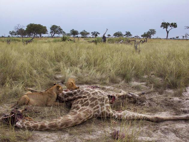 Death of a Giraffe