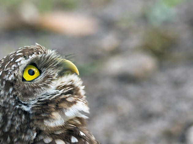 Photo of the Day: Burrowing Owl