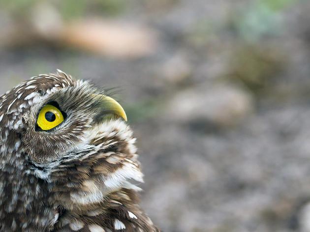 Burrowing Owl, by Kurt Wecker