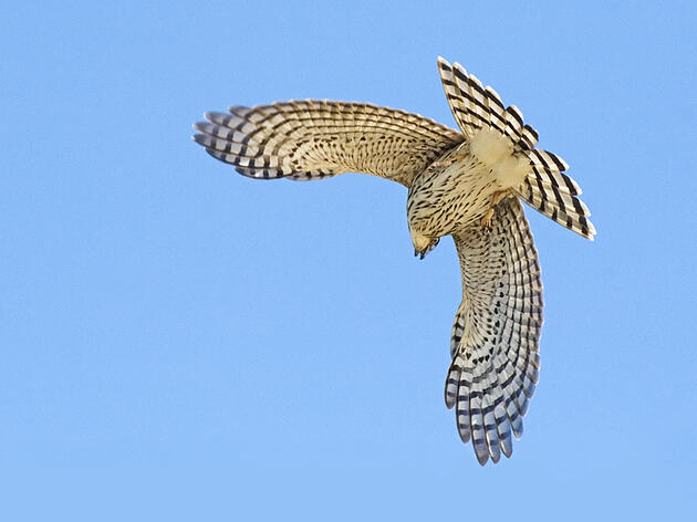 Audubon Guide to Hawk Watching
