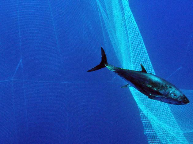 Help End the Bluefin Blues