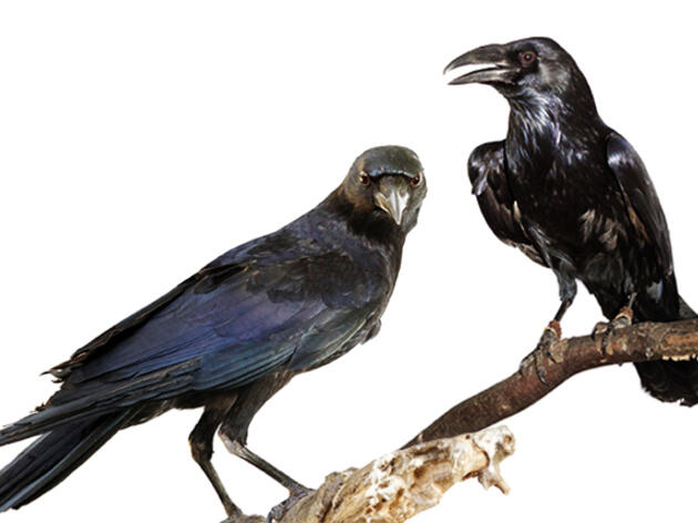 Remarkably Curious and Intelligent, Crows and Ravens Deserve a Closer Look