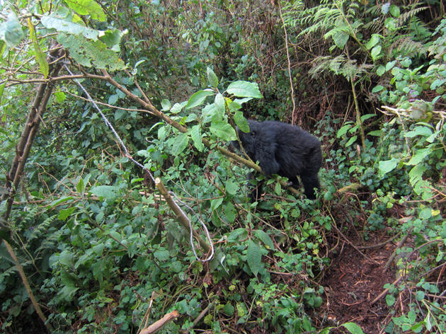 Young Gorillas Outwit Poachers