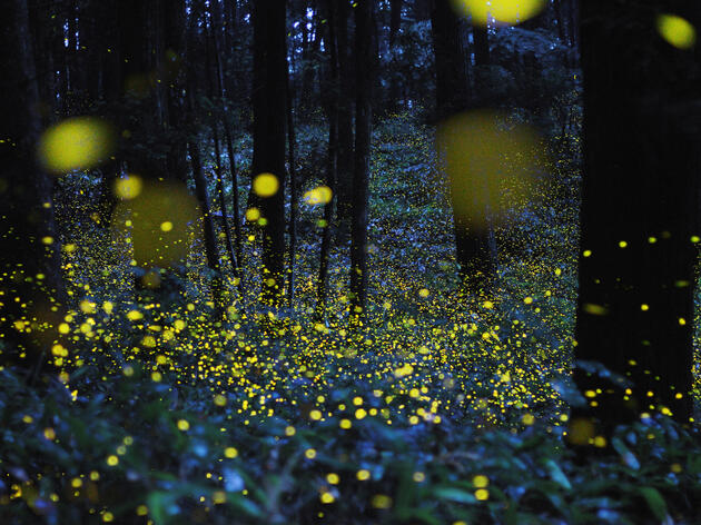 Catching Fireflies on Camera