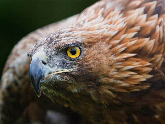 Clues to Conserving the Golden Eagle Hidden in Its DNA