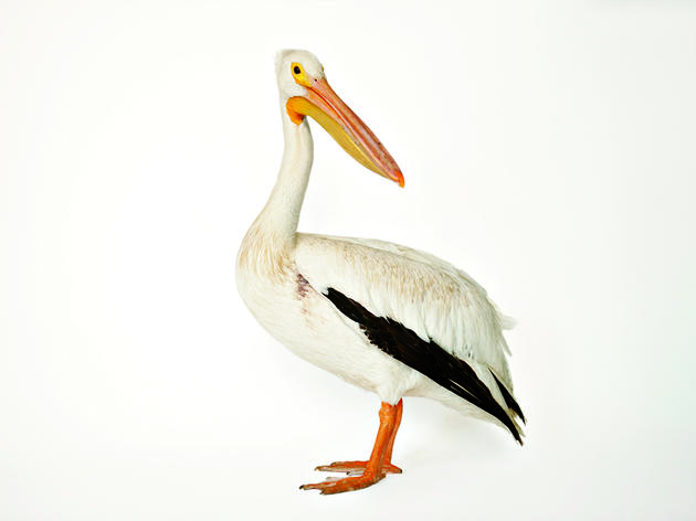 Pelican Conservation Goes High Tech