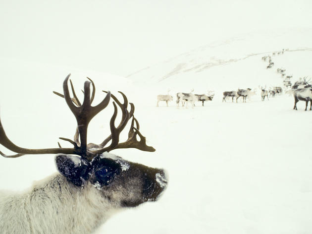 How Reindeer Keep Their Cool