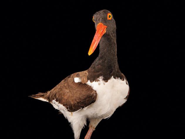 Audubon Priority Bird: American Oystercatcher