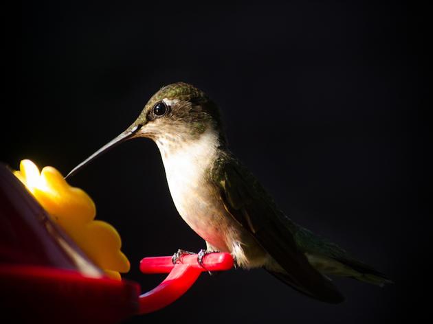 Ruby-throated Hummingbird, by Melanie Gloster