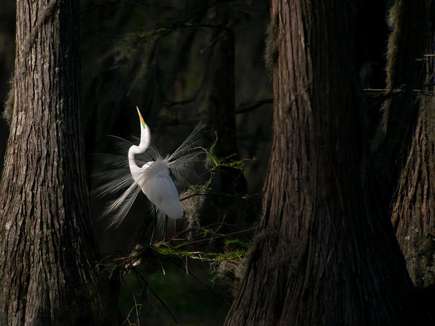 Photo of the Day: Great Egret