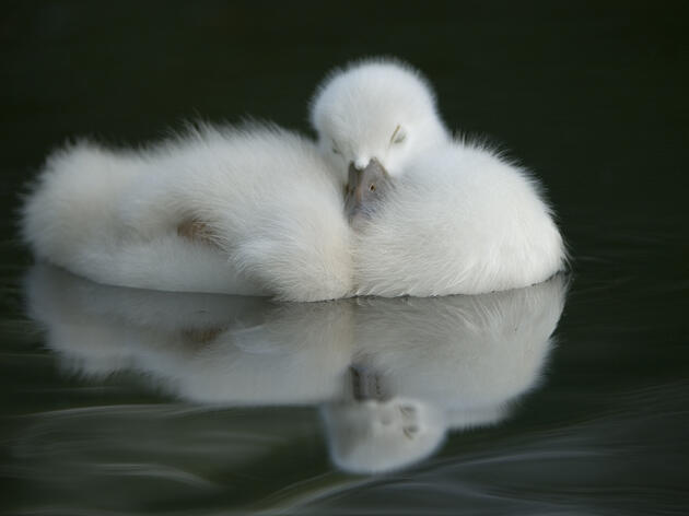 Young swan, by Patrick Dennen