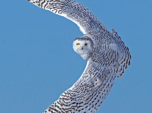 Photo of the Day: Snowy Owl