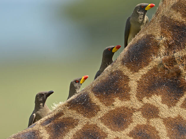 Photo of the Day: Yellow-billed Oxpeckers