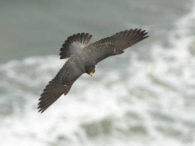 Photo of the Day: Peregrine Falcon
