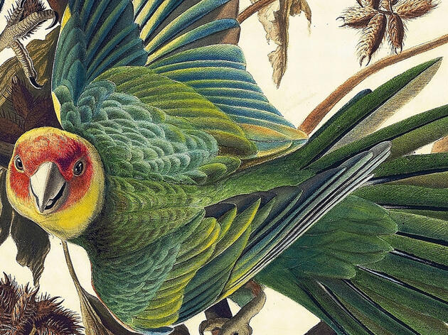 John James Audubon, Carolina Parakeet, c. 1825. Collection of the New-York Historical Society, 1863.17.26. Digital image created by Oppenheimer Editions. Artwork by John James Audubon/Digital image created by Oppenheimer Editions