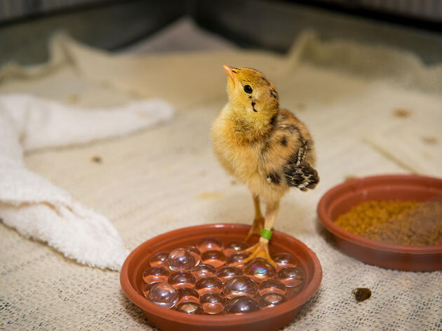 Attwater's Prairie-Chicken chicks are raised by the hundreds at the Houston Zoo and released to the wild. Despite these efforts, the wild population is not growing. Courtesy of Stephanie Adams/Houston Zoo