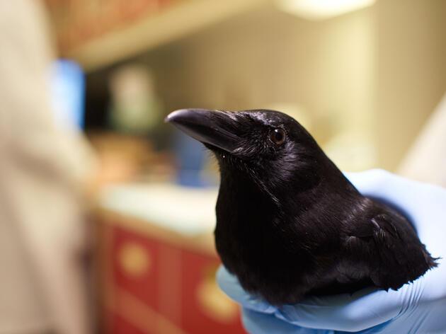 Conozca a los fanáticos de las aves: Cuervo Americano