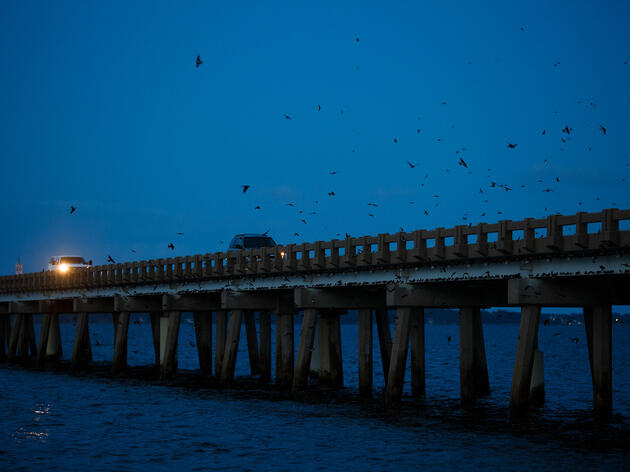Cars slowly cross the William B. Umstead Memorial Bridge on the Croatan Sound near the Coast of North Carolina as thousands of Purple Martins return to roost for the night. Eamon Queeney