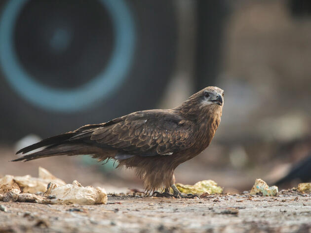 In India, Two Brothers Are Saving Black Kites from a Surprising Foe: Paper Kites