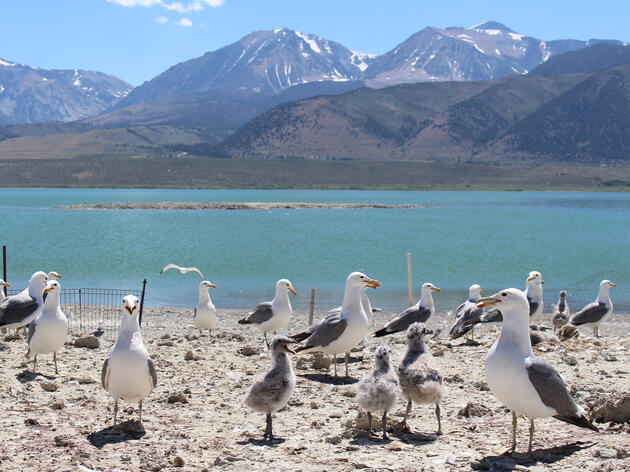 Amidst California Drought, Coyotes Creep Closer to Mono Lake's Gull Colonies