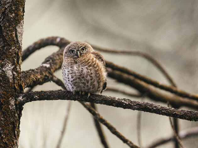 A content Cuban Pygmy Owl observes the team from a pine branch in Humbolt National Park. Greg Kahn