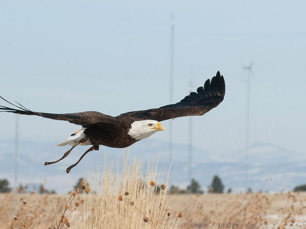New 30-Year Eagle Kill Rule Gets Finalized