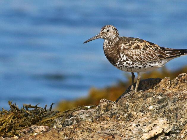 Great Knot on Seal Island, Maine. Keenan Yakola/Audubon