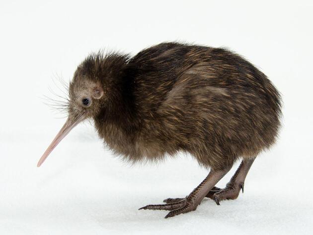 Brown Kiwi chick. Jim Jenkins/Smithsonian's National Zoo
