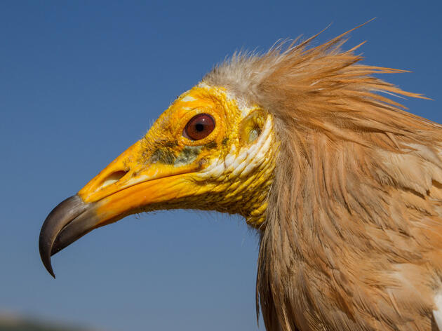 Can We Save the World's Vultures?
