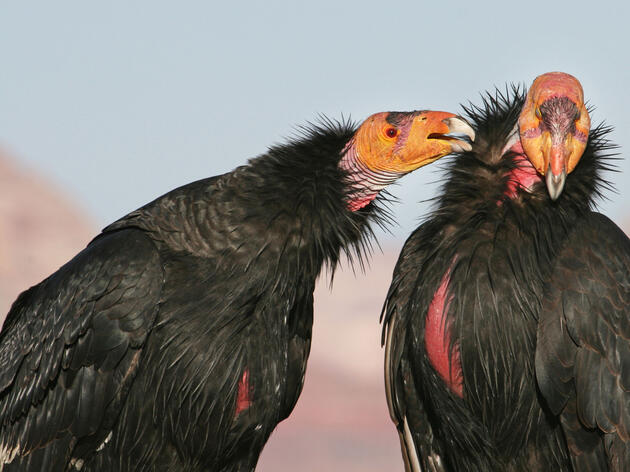 Poisoning from ingesting lead-based ammunition is the leading cause of death for endangered California Condors. Marc Slattery/Audubon Photography Awards