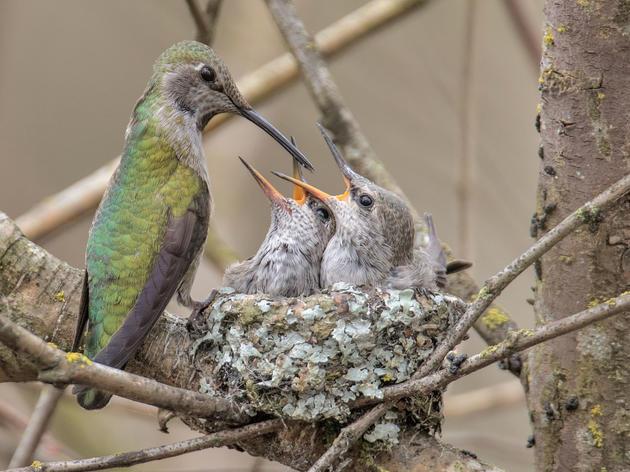Anna's Hummingbirds. Duke Coonrad/Audubon Photography Awards