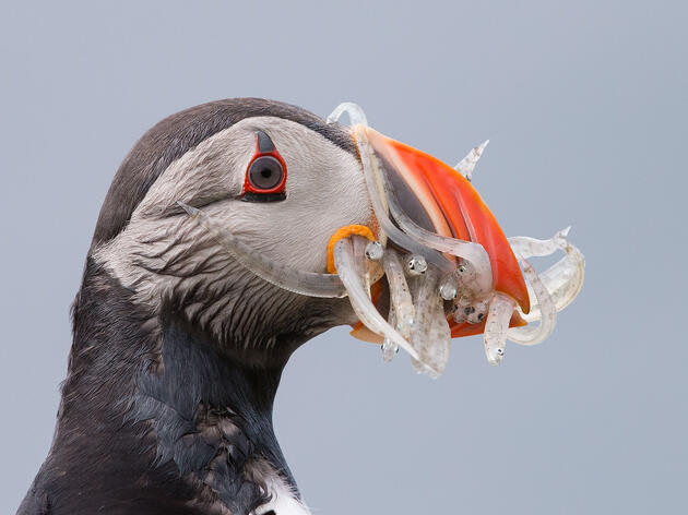 How Lost Luggage Led to This Amazing Shot of an Atlantic Puffin