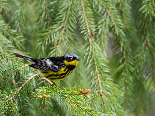 The Future of a Billion North American Birds Depends on Canada