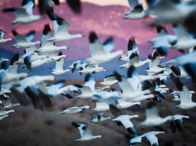 Snow Geese and Ross's Geese migrate in mixed flocks, with the former outnumbering the latter about 10 to 1. Daniel D'Auria/Audubon Photography Awards