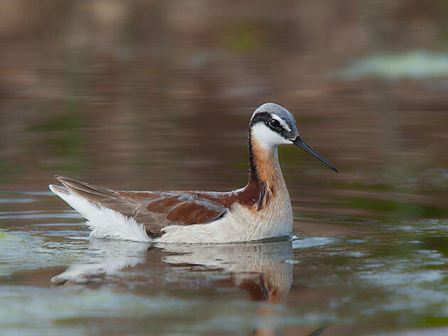 Wilson's Phalarope. Marlin Greene/Audubon Photography Awards