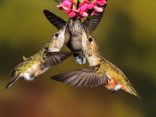 Three hummingbirds lap up nectar from blossoming flowers.  Left: Calliope Hummingbird. Right: Rufous Hummingbird. Dan Tracy/Audubon Photography Awards