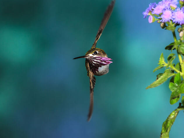 A Calliope Hummingbird, one of many hummingbird species at risk from climate change. Dan Tracy/Audubon Photography Awards