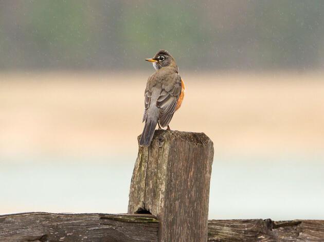 ¿Cuántas aves desaparecen entre las temporadas de migración? Ahora tenemos una pista.