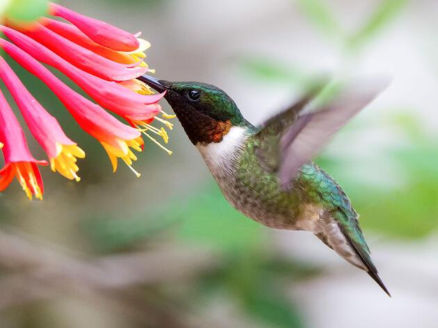 Ruby-throated Hummingbird and Honeysuckle. David Shipper/Audubon Photography Awards